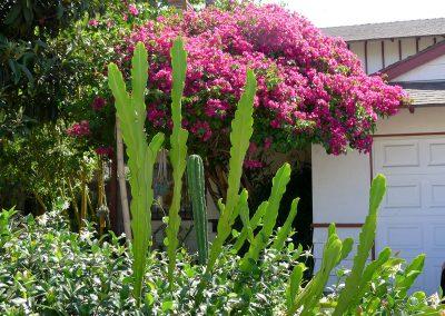 epiphyllum-bouganvilla