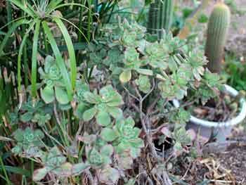 "Aeonium haworthii ""pinwheel"""