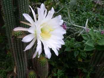 Echinopsis-spachiana-2