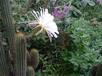 Echinopsis-spachiana-3