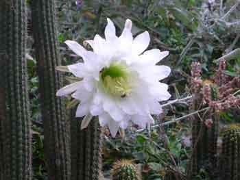Echinopsis-spachiana--6