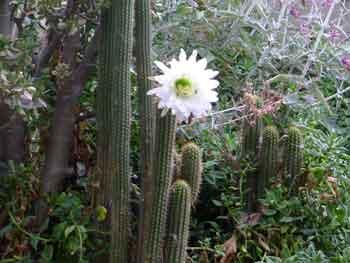 Echinopsis-spachiana