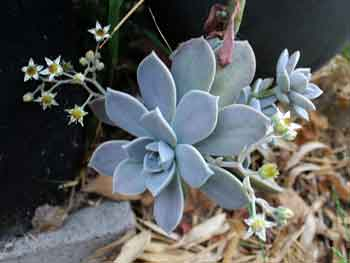 Graptopetalum sp.