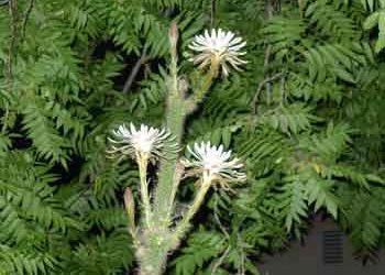 Peniocereus serpentinus