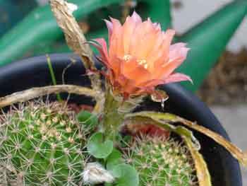 echinopsis-2