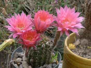 echinopsis-7