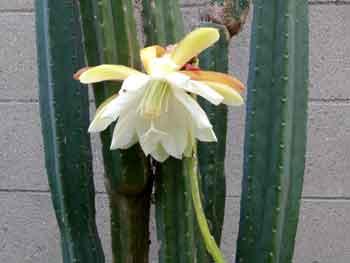 epiphyllum-5