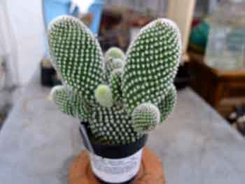 Opuntia microdasys, Angel wings