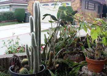 Cleistocactus strausii