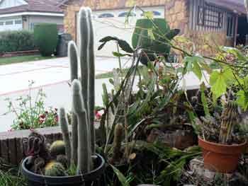 Cleistocactus-strausii