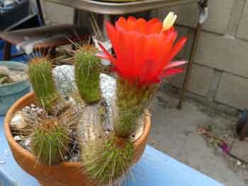 Echinopsis huascha - Red torch cactus