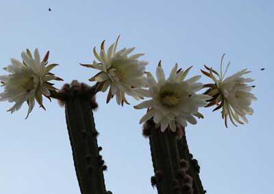 Echinopsis-pachanoi-3