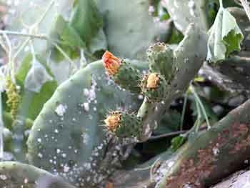 Opuntia ficus-indica - nopal