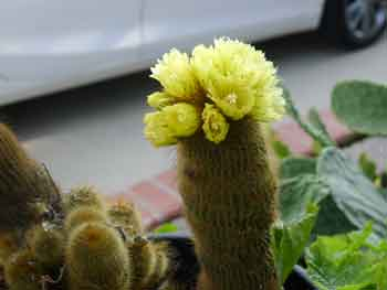 Parodia leninghausii - Lemon ball