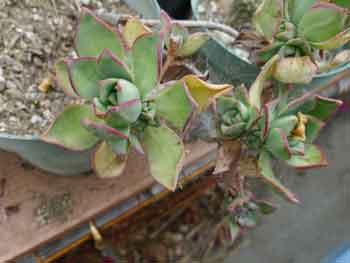 Aeonium decorum'Cooperi'