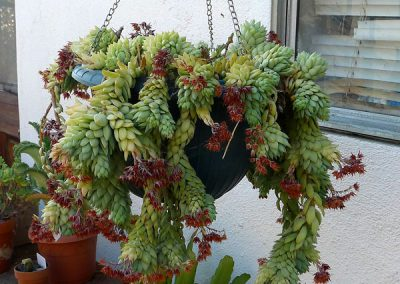 Donkey Tail Sedum in hanging planter