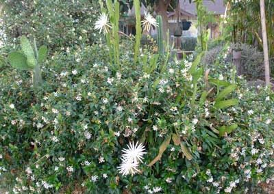 Four epiphyllum blossoms in a jasmine hedge