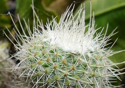 Mammillaria sp. (5)