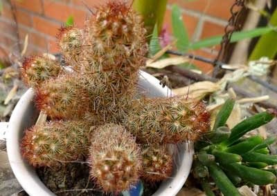 Mammillaria elongatacv. Kopper King