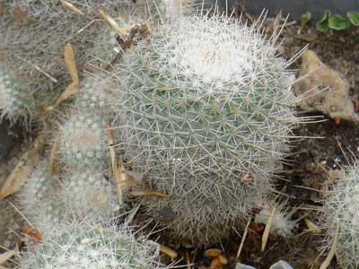 Mammillaria columbiana