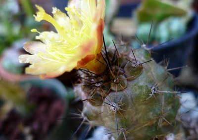 Copiapoa-tenuissima-2