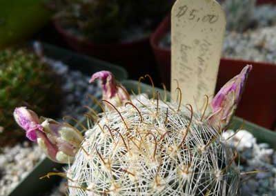Mammillaria-boolii