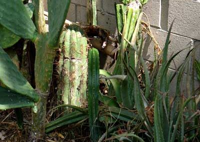 Carnegiea gigantea, Saguaro