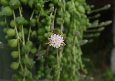 Senecio rowleyanus - String of Pearls