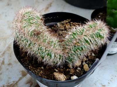 Stenocereus hollianus cristata