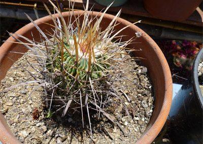 Sclerocactus-whipplei-2
