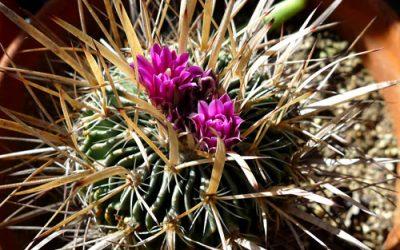 Echinofossulocactus sp.