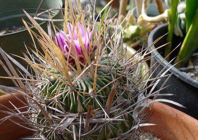 Sclerocactus-whipplei