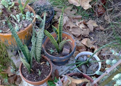 Three potted sansevieria