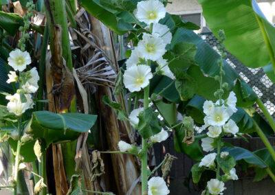 Alcea striata (Desert Hollyhock)