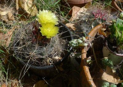 Ferocactus hamatacanthus (Texas Barrel, Turk's Head Barrel)