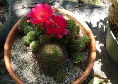 Lobivia silvestrii (Peanut Cactus)